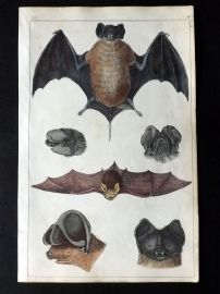 Goldsmith 1851 Hand Col Print. Cayenne, Slender, Notch Eared, Rufous Bat 13